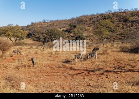 A small herd of African Zebra, Equus quagga, grazing quietly on the dry grass of the lowlands of Madikwe Game Reserve in South Africa. - Stock Photo