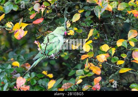 Ring-necked parakeet (Psittacula krameri) perched in atree - Stock Photo