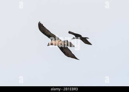 Thick-billed Raven (Corvus crassirostris) and Lammergeier (Gypaetus barbatus) in flight, Simien mountain, Ethiopia - Stock Photo