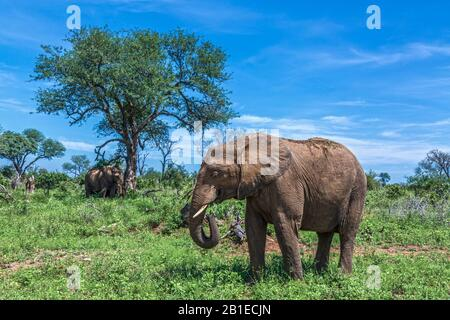 African bush elephant (Loxodonta africana) in green savannah in Kruger National park, South Africa - Stock Photo