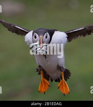 Puffin, Fratercula arctica, Flying Towards Camera With a Beak Full Of Sand Eels After Fishing At Sea Taken at Skomer Island UK