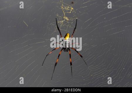 Golden Orb-web spider (Nephila inaurata madagascariensis) female on her web, Andasibe (Perinet), Alaotra-Mangoro Region, Madagascar - Stock Photo