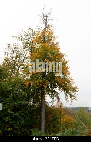 Gas embolism following a drought, in a beech tree, Autumn, Moselle, France - Stock Photo