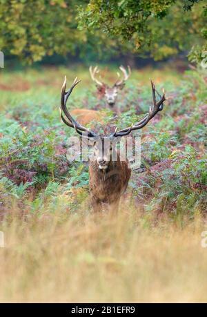 Red Deers (Cervus elaphus) in ferns, Richmond Park, London, England - Stock Photo