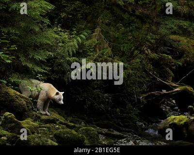 A Spirit Bear (Ursus americanus kermodei) emerges from the rainforest in British Columbia, Canada. - Stock Photo