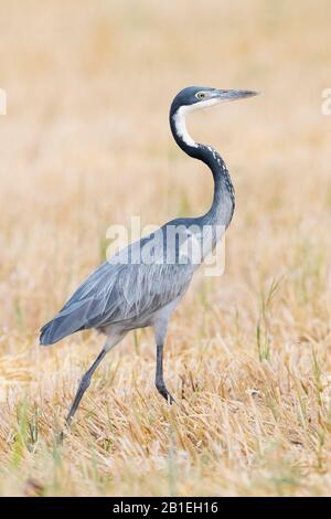 Black-headed Heron (Ardea melanocephala), side view of an adult walking in a wheat field, Western Cape, South Africa - Stock Photo