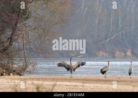 Common Crane (Grus grus) stretching on a sandbar of the Loire, France