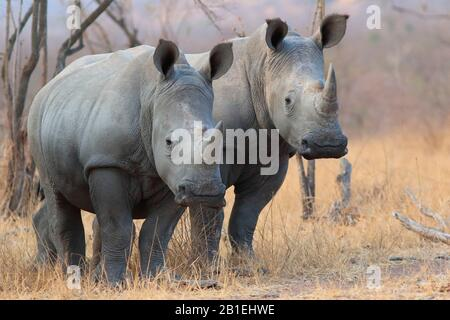 White Rhinoceros (Ceratotherium simum) in savannah, Southern Africa - Stock Photo