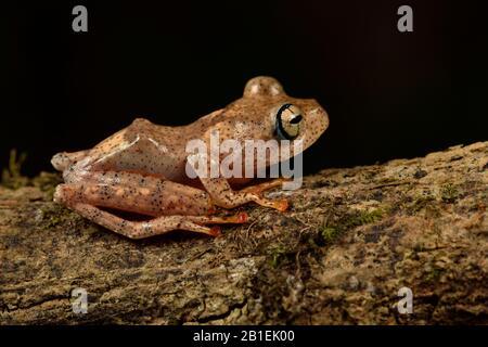 Fiery Bright-eyed Frog (Boophis pyrrhus), Andasibe (Perinet), Alaotra-Mangoro Region, Madagascar - Stock Photo