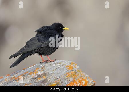 Alpine Chough (Pyrrhocorax graculus) on rock, Swiss Alps. Stock Photo