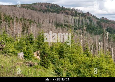 Durch den Borkenkäfer abgestorbener Fichtenwald im Nationalpark Harz bei Braunlage, Niedersachsen, Deutschland  |  Pine forest damaged by Bark beetles - Stock Photo