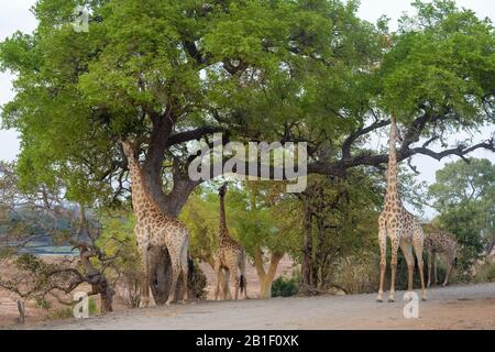 Giraffe (Giraffa camelopardalis) group eating from acaciatree, Kruger National Park, South Africa. - Stock Photo