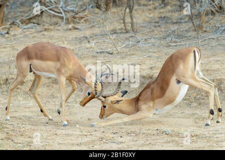 Impala (Aepyceros melampus), adult bucks fighting, Kruger National Park, South Africa, - Stock Photo