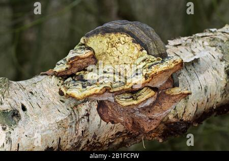 Strangely deformed Beeswax bracket fungus growing on the rotting stem of a Birch tree - Stock Photo