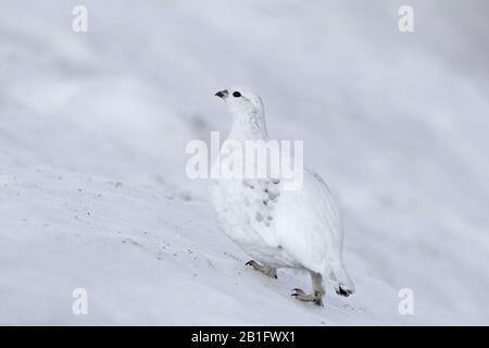 Rock ptarmigan (Lagopus muta / Lagopus mutus) female / hen foraging in the snow in winter plumage, Cairngorms National Park, Scotland, UK