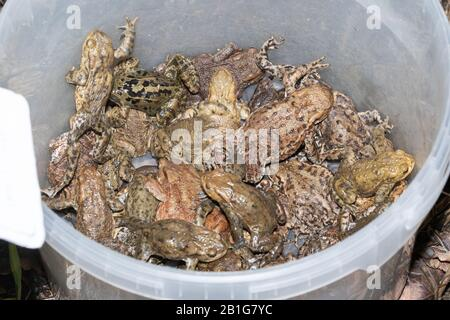 Many common toads (Bufo bufo) in a bucket (and a frog). These were picked up off a road during a toad crossing patrol and moved to safety near a pond - Stock Photo