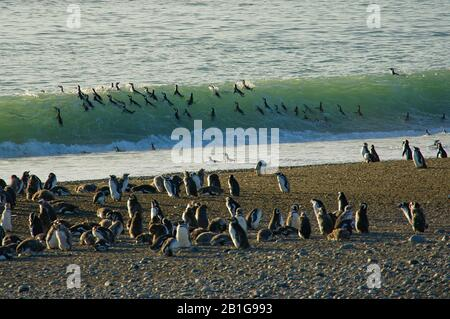 Magellanic penguins in a breaking wave before fishing at Cabo Virgenes from the beach