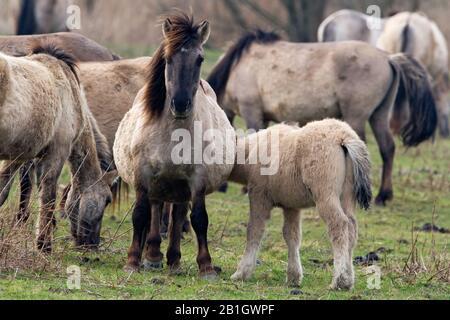 Konik horse (Equus przewalskii f. caballus), Herd grazing, Netherlands, Flevoland, Flevopolder - Stock Photo