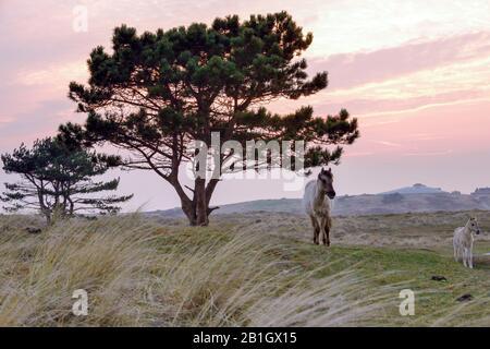 Konik horse (Equus przewalskii f. caballus), mare with foal grazing, Netherlands, Den Helder, Grafelijkheidsduinen - Stock Photo