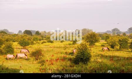 Konik horse (Equus przewalskii f. caballus), grazing herd, Netherlands, Blauwe Kamer - Stock Photo