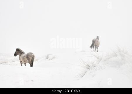 Konik horse (Equus przewalskii f. caballus), two horses in snow, Netherlands, Grafelijkheidsduinen - Stock Photo