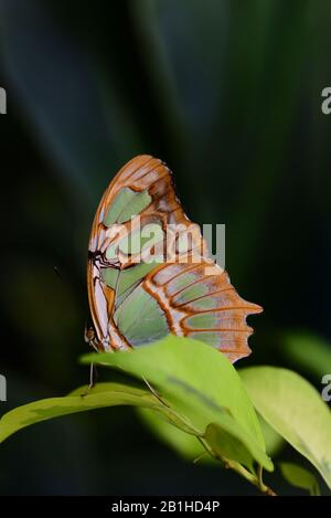 A bright green malachite is hidden in the tropical forest behind green leaves against a dark background in portrait format