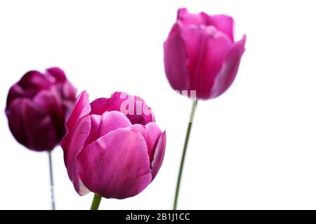 Side view of purple tulips, latin name tulipa, isolated against a white background. - Stock Photo