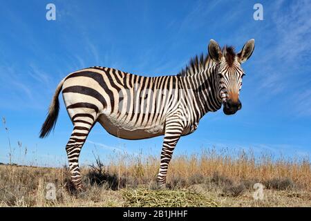 Hartmann's Mountain Zebra, Mountain Zebra (Equus zebra hartmannae), zebra foal standing in the savannah, South Africa, Lowveld, Krueger National Park