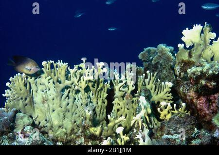 branching fire coral (Millepora alcicornis), Netherlands Antilles, Curacao - Stock Photo