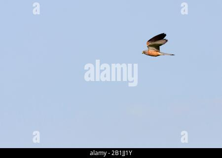 lesser kestrel (Falco naumanni), adult male, Turkey - Stock Photo