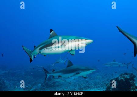 Blacktip Reef Shark with Reef Hook, Carcharhinus melanopterus, Moorea, French Polynesia - Stock Photo