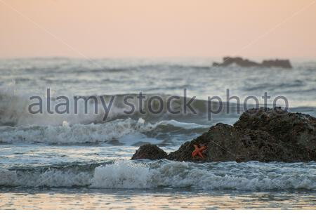 wild pacific west coast at the olympic national park, coloured ochre sea stars on a rock - Stock Photo