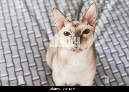 The Sphinx cat looks at the camera. - Stock Photo