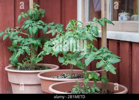 In a protected nook outside a red wooden house and window, three tomato plants are growing in large pots in late spring, tied to stakes for support. - Stock Photo