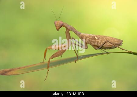 African mantis or common green mantis Sphodromantis gastrica in brown color - Stock Photo