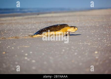 flatback sea turtle, flatback turtle, Australian green turtle (Natator depressus, Chelonia depressa), at 80 Miles Beach, Australia - Stock Photo