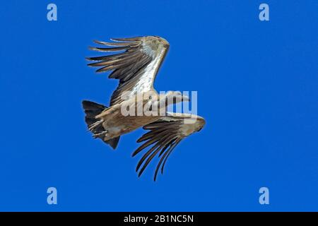 White-backed Vulture in flight in Ethiopia - Stock Photo