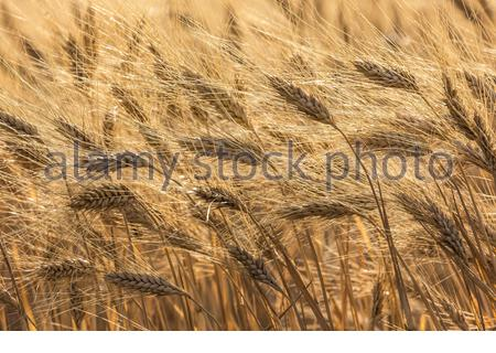 Durum wheat -Triticum turgidum var. durum -  used to manufacture  pasta, is grown in the Mediterranean basin and France  is considered one of the best - Stock Photo