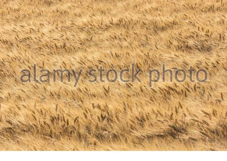 Durum wheat -Triticum turgidum var. durum -  used to manufacture  pasta, is grown in the Mediterranean basin and France is considered one of the best. - Stock Photo