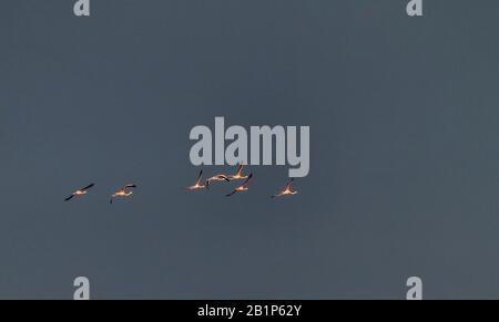 Group of Greater flamingo, Phoenicopterus roseus, flying into thunderstorm cloud, Grerece