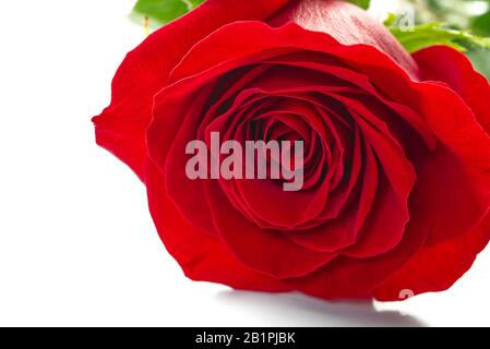 The red rose flower close up shoot. Can be used for background, poster or postcard. Rose flower isolated on white. - Stock Photo