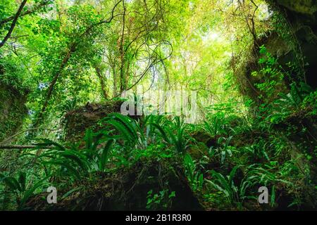 Wild lush forest with hart's tongue ferns growing on rocks in the Gironde department in France, near Bordeaux. - Stock Photo