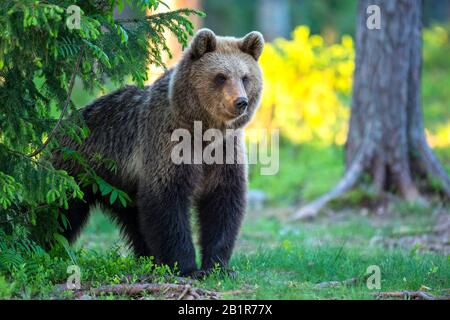 European brown bear (Ursus arctos arctos), standing in a forest, Finland, Karelia, Suomussalmi - Stock Photo