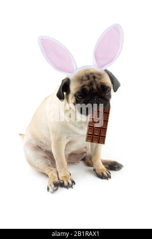Easter bunny. Sad pug dog with a chocolate in his mouth and rabbit ears. - Stock Photo