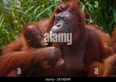 Beautiful portrait of a Sumatran mother orangutan (Pongo abelii) holding her infant in her arm, watching as it eats a piece of sugarcane. - Stock Photo