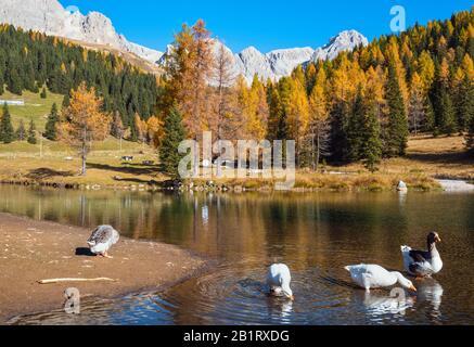 Geese flock on autumn alpine mountain pond not far from San Pellegrino Pass, Trentino, Dolomites Alps, Italy. Cima Uomo rocky massif in far. Traveling - Stock Photo