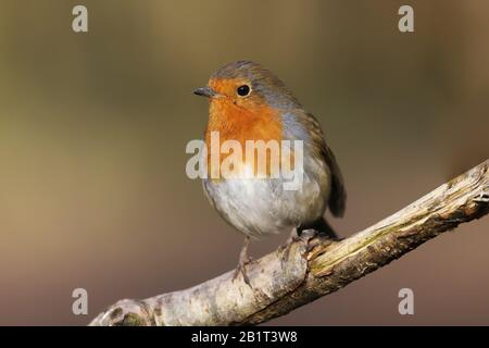 Robin redbreast (Erithacus rubecula) perched on a branch - Stock Photo