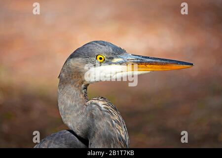 Portrait of a great blue heron, Ardea herodias, on the edge of a mountain pond in the Cascade Mountains of central Oregon. - Stock Photo