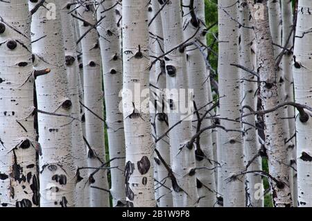 Quaking aspen (Populus tremuloides) grove in west-central Colorado