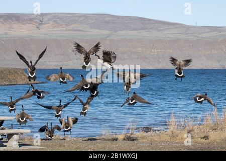 A flock of canadian geese fly off together over the water of Banks Lake in Coulee City, Washington. - Stock Photo